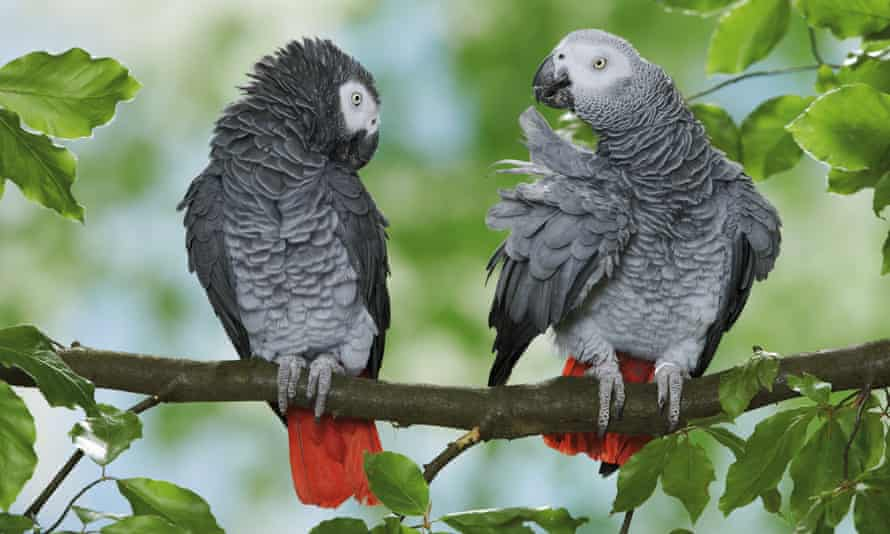 Two Congo African Grey parrots, Psittacus erithacus, on branch