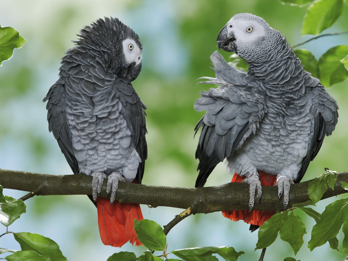 African grey parrot has global summit to thank for protected status |  Illegal wildlife trade | The Guardian