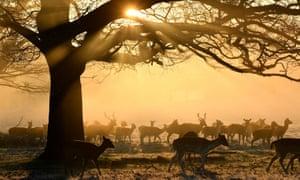 Deer grazing in Richmond Park, London
