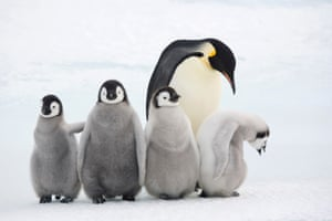 Emperor chicks with an adult at Snow Hill Island colony, Antarctica