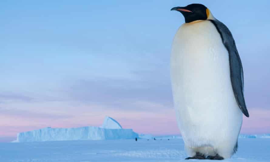 Walking tall ... an emperor penguin.