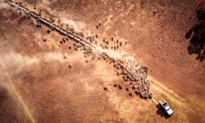 Farmer Richard Gillham drives his truck across a dry paddock as he feeds sheep on his property at Boggabri, NSW