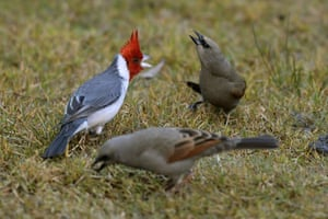 A red-crested cardinal and two grayish baywings near the Lago del Rosedal in Buenos Aires