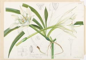 Snelling, who had trained in Edinburgh before being commissioned by the plant collec- tor Henry Elwes to complete the posthumously published supplement for his Monograph of the Genus Lilium (1933– 40), was lauded for her technically precise, scientifically accurate and closely observed approach. This striking plant – its common name reflects its resemblance to the narcissus – is now extinct in the wild owing to the destruc- tion of its habitat. The bulbous plant grows epiphytically, that is, it is supported nonparasitically by another plant. Snelling's elegant style was achieved by building up thin layers of watercolour to accomplish a delicate effect. Until the 1940s Curtis's plates were hand-coloured; as the official artist, Snelling would copy a zinc plate from her original painting. Then she would add colour to the printed plate as a model for the colourists.