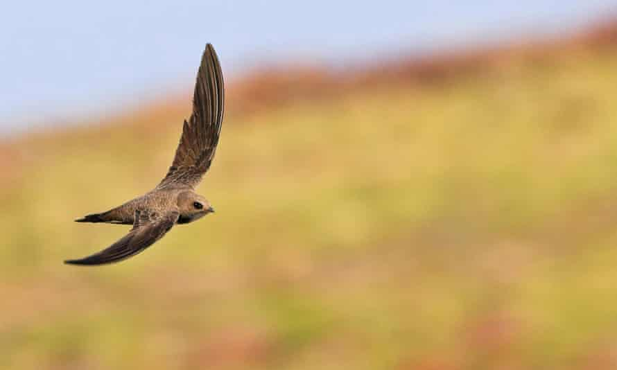 'A swift can scarcely cope with being stationary. But I know about slowness.'