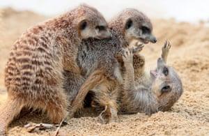 Meerkats fighting in Wilhelma zoo in Stuttgart, Germany