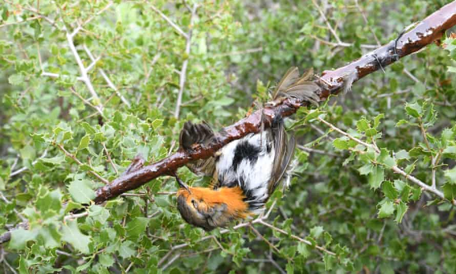 A European robin trapped with glue on a stick, in France.