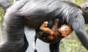 Francois' langur baby Nangua