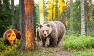 Brown bears in Finland's Kainuu wilderness.