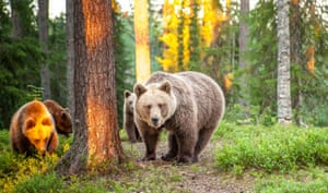 A large group of bears stroll towards a photographer's hiding place in Suomussalmi, Finland. George Turner, from Dorset, spent three days in the forest to witness the bears in their natural habitat.