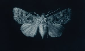 Campion moth mezzotint by printmaker and artist Sarah Gillespie
