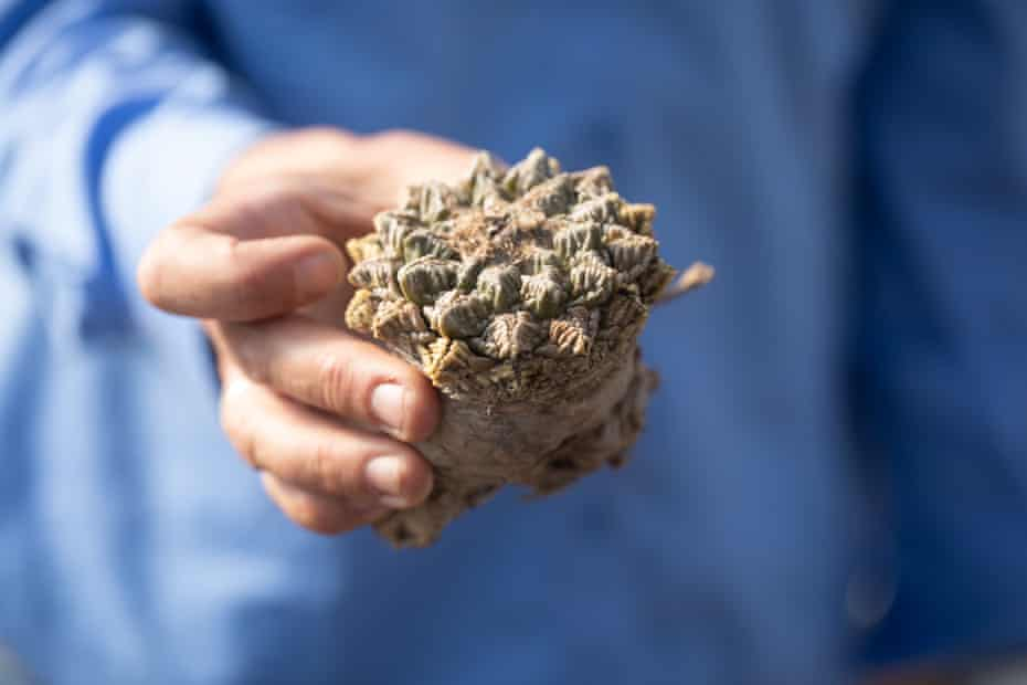 Jessie Byrd, manager for the Pima County Native Plant Nursery in Tucson, holds an ariocarpus fissuratus, a rare plant that was confiscated from someone crossing the border.