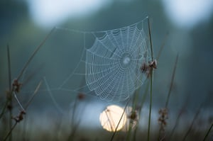 A spider's web hangs from blades of grass at dawn