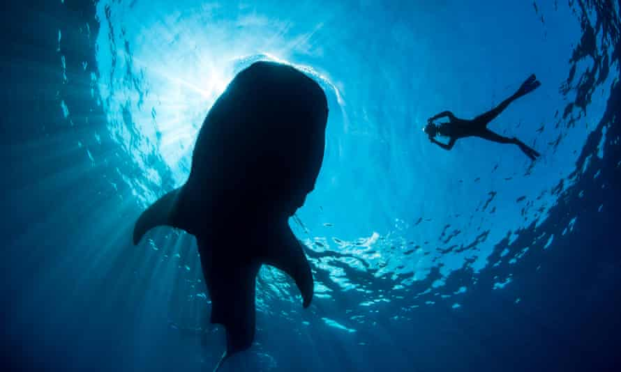 Whale shark, Isla Mujeres.