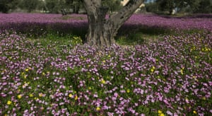 Olive trees in a field of violet flowers, near the West Bank city of Jenin
