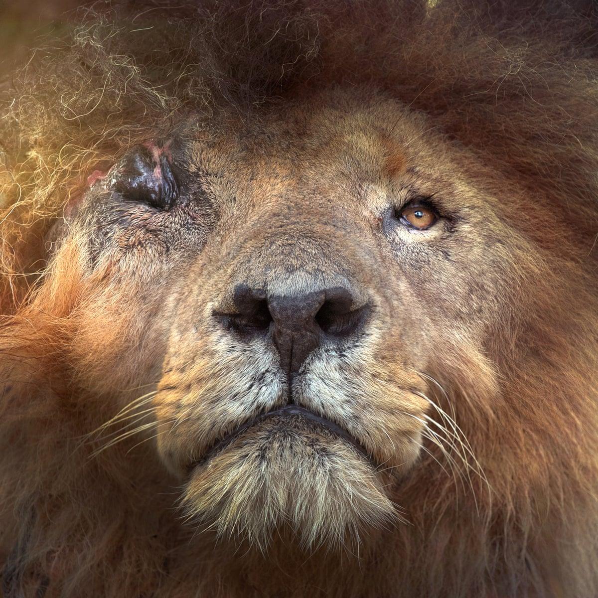 Conservationists mourn natural death of Kenyan lion Scarface ...