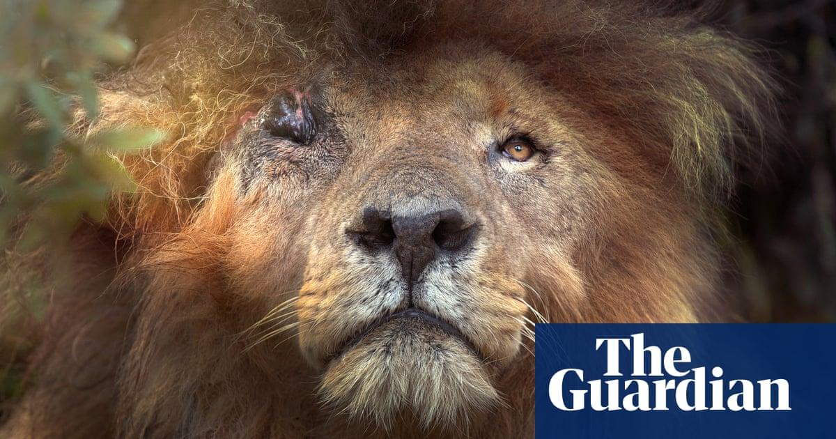 Conservationists mourn natural death of Kenyan lion Scarface