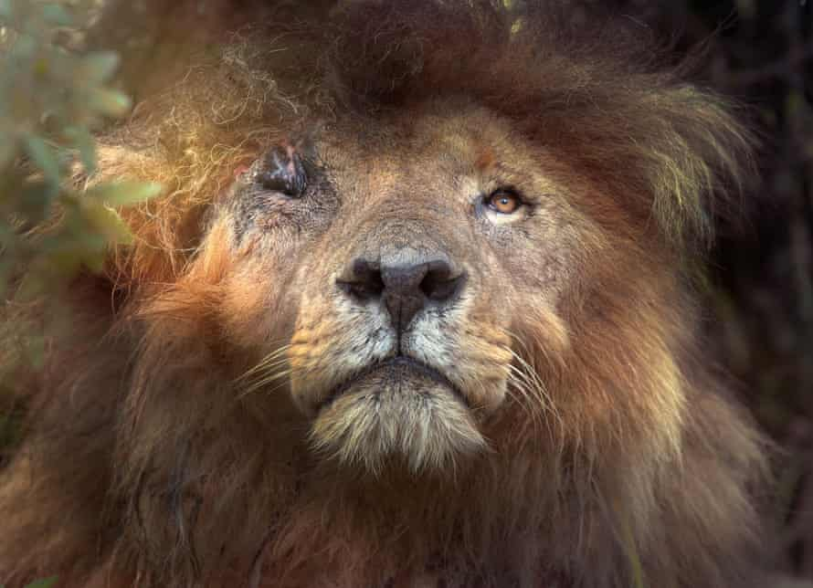 Scarface, photographed for the front cover of Lion: Pride Before the Fall, near the Mara river in January 2020.