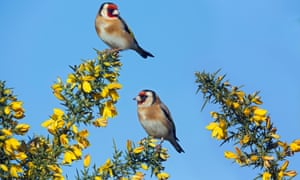 Goldfinches in trees