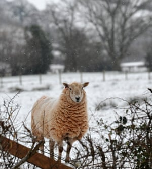 A lone sheep contemplates the wintry conditions in Llanveynoe, Herefordshire.