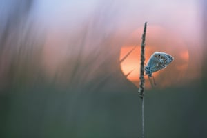 A butterfly in front of a setting sun