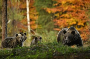 A bear with cubs at an observatory near Băile Tușnad in central Romania