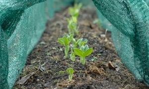 Broad bean growing