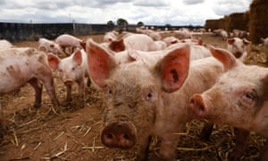 Free-range pigs at Anna's Happy Trotters
