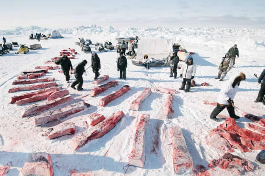 Division of whale meat and blubber is governed by Iñupiaq tradition and followed strictly by whaling crews. Here, the niñit, or community shares, are equally apportioned, and even the whaler's share will be given away at Nalukataq, the summer whaling festival. The tradition of gifting ensures that less-fortunate members of the community benefit from the bounty of successful whalers.