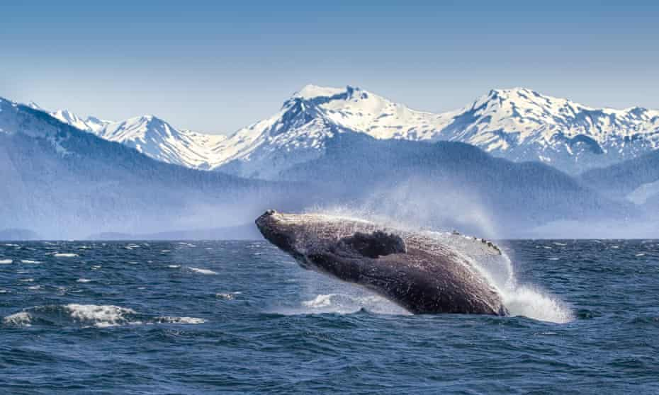 Breaching humpback whale against snow capped mountains seen in the distance in Glacier Bay, Alaska.