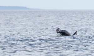 A bottlenose dolphin lifting a harbour porpoise up in the air at Chanonry Point in the Moray Firth.