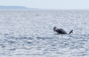 A bottlenose dolphin lifting a harbour porpoise up in the air in a rare attack at Chanonry Point in the Moray Firth, Scotland