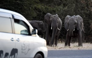 Elephants attempt to cross a road as cars drive by in Kasane, in Chobe district, northern Botswana