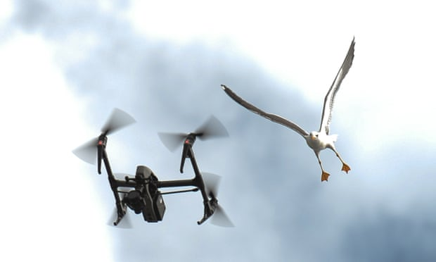 'They're territorial': can birds and drones coexist?