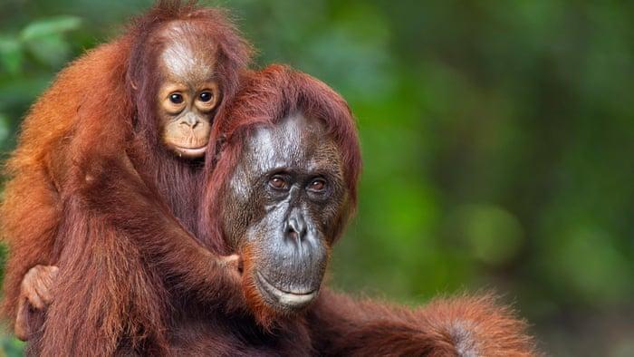 World's rarest orangutan under threat in Indonesia after