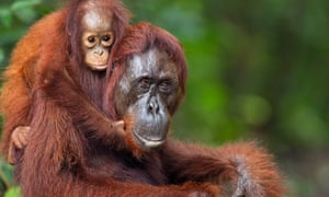 Bornean Orangutan female baby holding on to her mother at Camp Leakey.