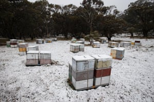 Snow-covered beehives near Cooma