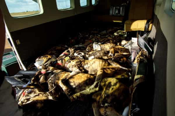 Sedated wild dogs in aircraft