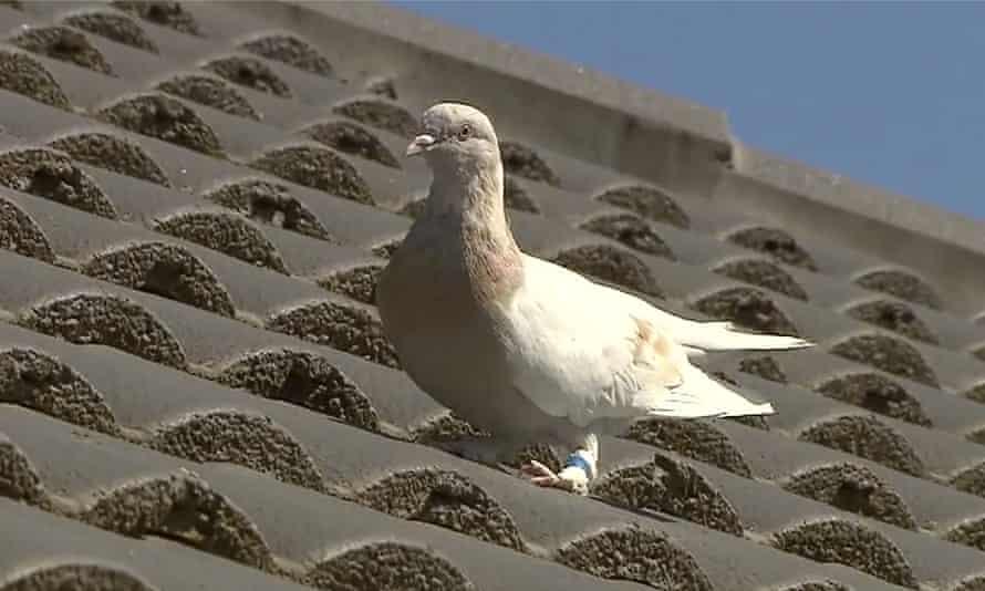 Joe the racing pigeon