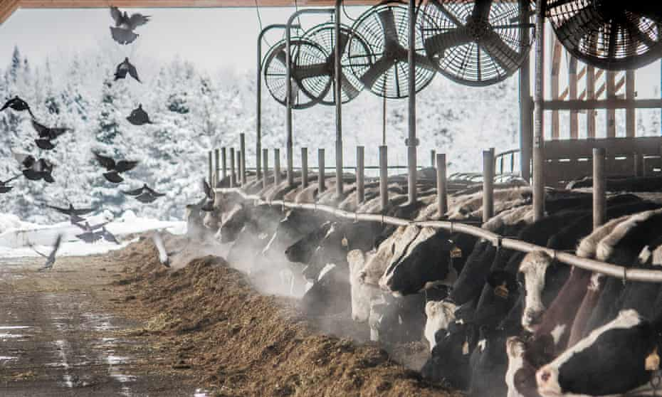 The dairy herd subsists through the long, snowy winter on hay grown on the farm and harvested by the migrant workers.