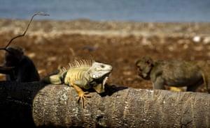 An iguana sunbathes as monkeys walk behind on Cayo Santiago, known as Monkey Island, in Puerto Rico