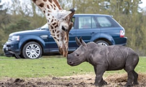White Rhino Calf, West Midland Safari Park