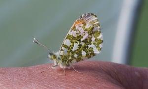 An Orange Tip butterfly