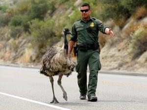 Old Man Emu >> Flight of the emu: story of the big bird photographed ...