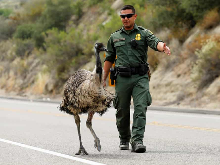 Officer Constantino Zarate tries to herd the emu off the highway.