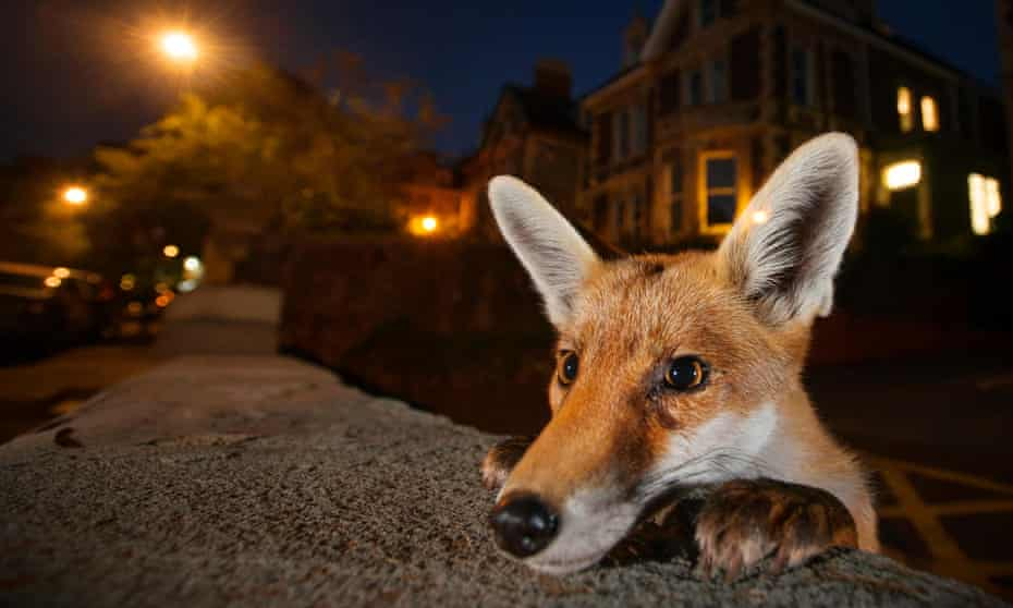 Sam Hobson was a finalist in the 2016 Wildlife Photographer of the Year with this picture of a young urban red fox (Vulpes vulpes), taken in Bristol.