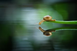 A snail stretches to drink water in Batam, Indonesia