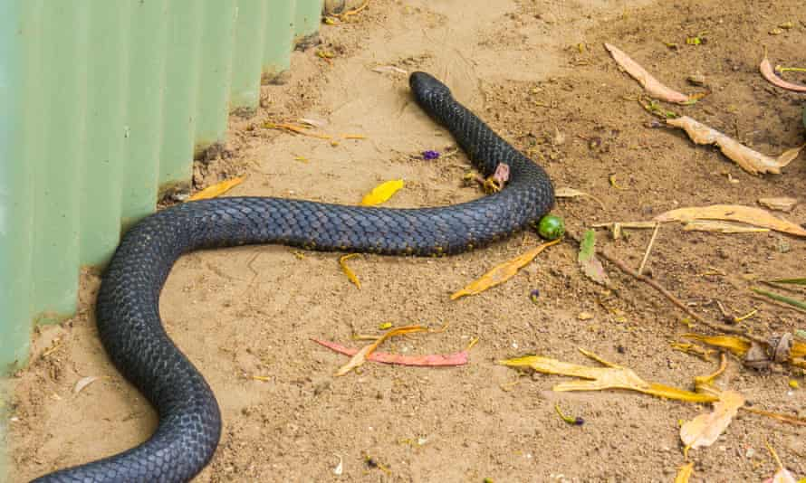'I was terrified' … a Tasmanian tiger snake.