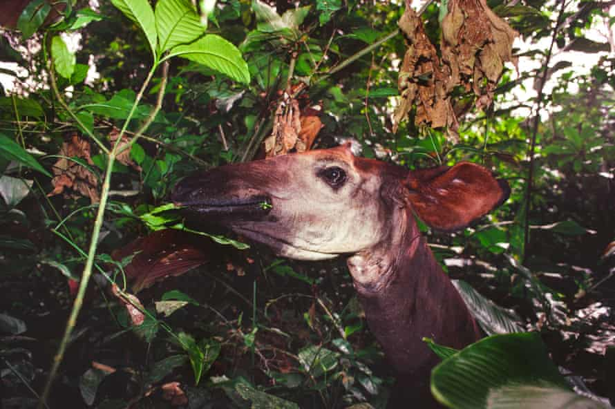 Okapi are notoriously shy and hard to catch a glimpse of.