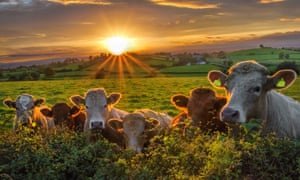 A herd of cattle in Northern Ireland at sunset